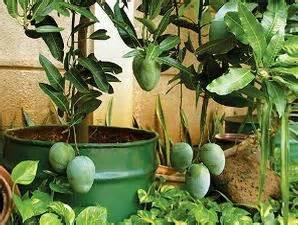 Bertanam Mangga teknik bertanam mangga di pot fachri s