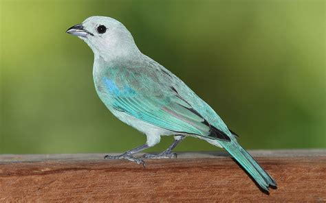 blue gray blue gray tanager
