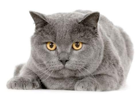 gatto da appartamento razza gatto certosino foto e caratteristiche fisiche tutto ze