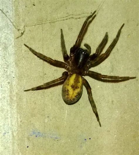 spider with yellow pattern on back uk spider invasion how do i know if a spider in my garden is