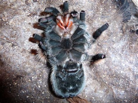 Tarantula Shedding by 100 Tarantula Shedding Its Exoskeleton Spider
