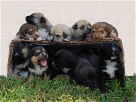 pitbull german shepherd mix puppies for sale american pit bull terrier puppies in tennessee