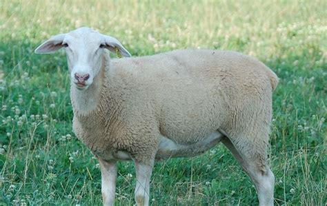 animali da cortile definizione image gallery pecore