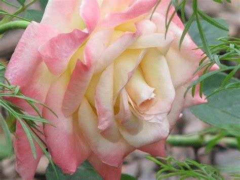 diana princess of wales rose rose quot diana princess of wales quot a single rose pinterest