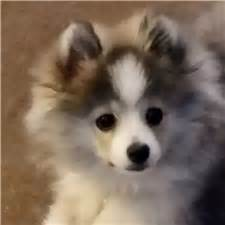 whistle hill puppies tashia pomsky puppy for sale near reading pennsylvania 13c903b8 ab91