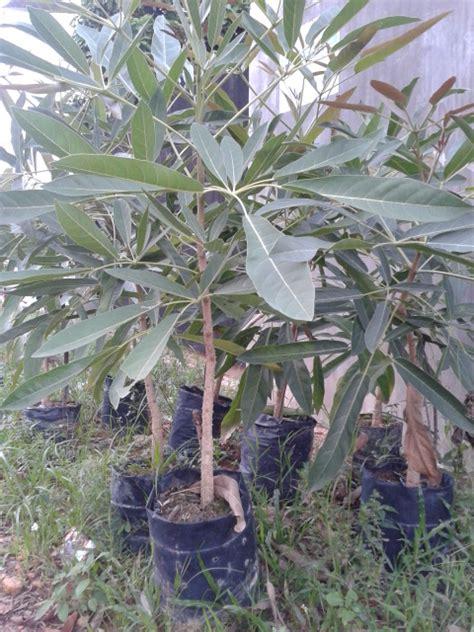 Jual Pohon Angsana 087777643603 2 jual pohon tabibuya seroja landscape