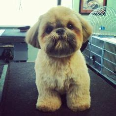 29 best shih haircuts images on pinterest bath cute 75 best shih tzu grooming hairstyles images on pinterest