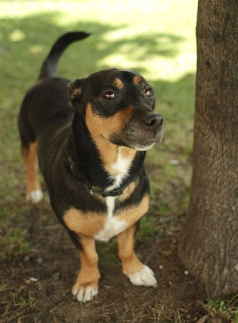dogs 101 rottweiler reagle rottweiler x beagle mix info temperament puppies pictures