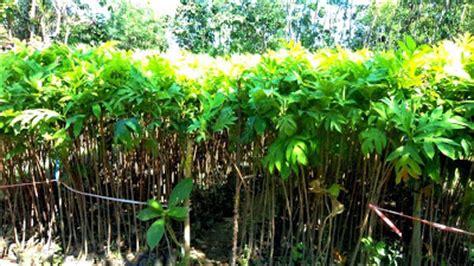 Bibit Sengon Di Pati bibit tanaman murah jual bibit sukun di palembang
