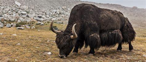 yak decke yak decke decke aus yakwolle