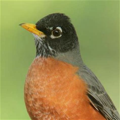 why robin has a red breast birdnote