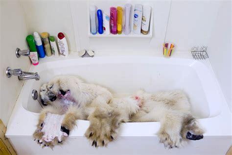 two polar bears in a bathtub stark photos of the world s last legal polar bear hunt mother jones