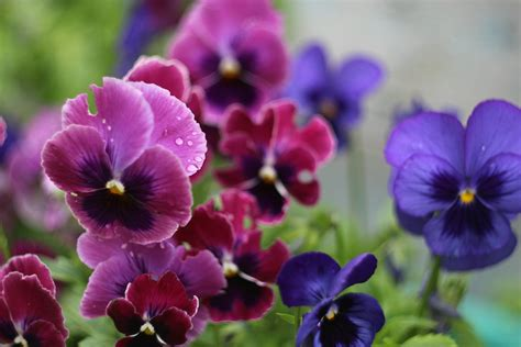 Small Bathroom Colors Ideas how to grow pansies