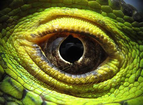 imagenes ojos de reptiles macro oeil iguane quot iguana delicatissima quot eye iguane des