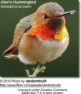 allen s hummingbirds beauty of birds