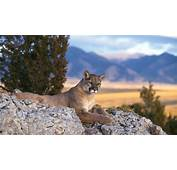 Cougar Wallpaper Sunset  HD Desktop Wallpapers 4k