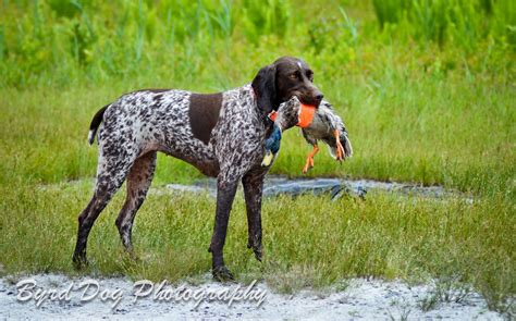 duck puppy adventures of a gsp the unseen dangers of duck work