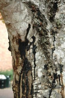 maple acer spp phytophthora root rot pacific