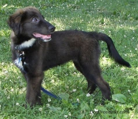lab collie mix puppies borador breed information and pictures