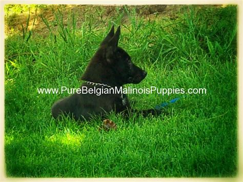 black belgian malinois puppies for sale puppies for sale puppies belgian malinois puppies for sale breeds picture