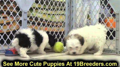 havanese puppies spokane wa havanese puppies for sale in bellevue washington wa yakima kitsap thurston