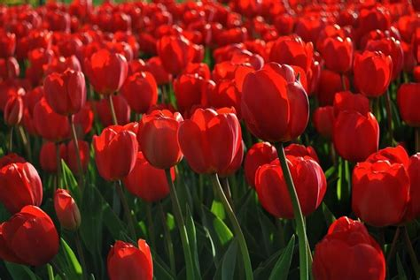 significato dei fiori tulipani tulipani significato fiori il significato dei