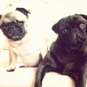 pewdiepie pug pewdiepie pug and edgar pewdiepie s and edgar youtuberssss