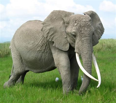 Sis Elephant Top Bigsize elephants and tusks animals wiki pictures stories