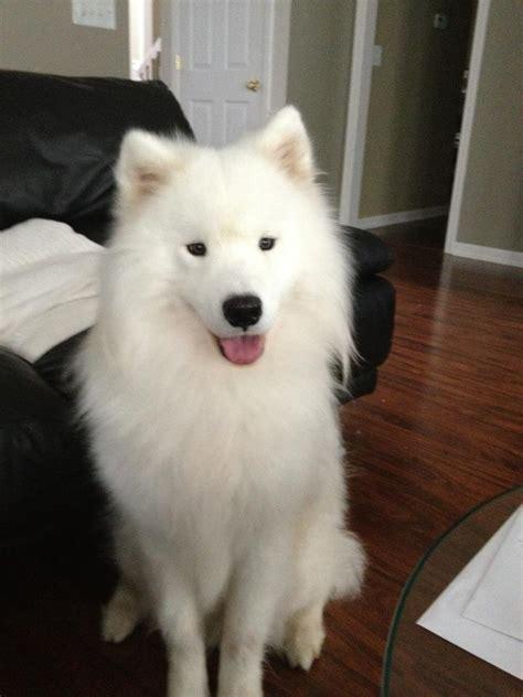 my female semoyed dog is not eating oooo and she is pregnant pets nigeria 298 best samoyeds images on pinterest doggies samoyed