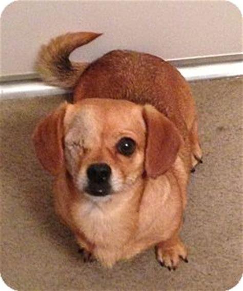 pug dachshund mix precious adopted arcadia ca dachshund pug mix