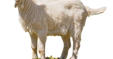 gambar png kambing tranperant bacground