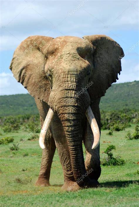 African elephant bull — Stock Photo © AnkevanWyk #6200897