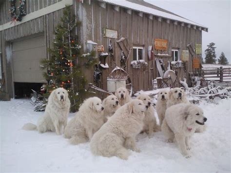 great pyrenees rescue provides wonderful dogs to good homes pinterest the world s catalog of ideas