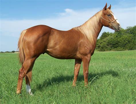 sorrel color the gallery for gt sorrel quarter stallion