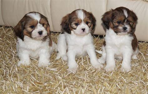 king charles cavalier puppies for sale near me cavalier king charles puppies for sale in nassau paradise island fiwiclassifieds