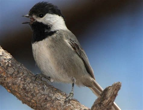 carolina chickadee life expectancy