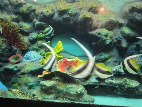 Sho Kuda Berapa thailand songkhla aquarium
