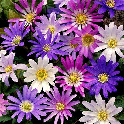 anemone blanda planting buy wood anemone bulbs anemone blanda mixed delivery by