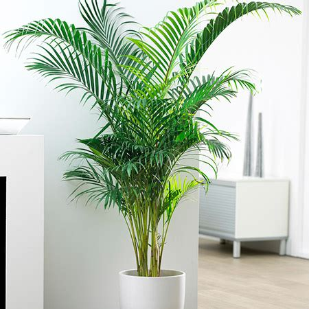 areca palm areca palm tree for sale fast growing trees com