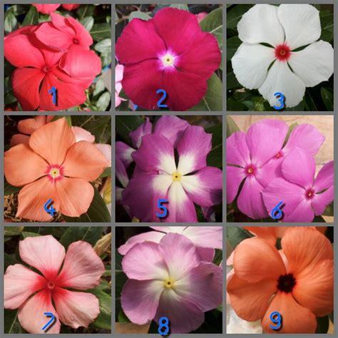 Benih Biji Bunga Portulaca jual bunga pukul 9 krokot portulaca 15 photos