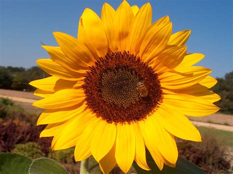 online plant guide helianthus annuus sunflower