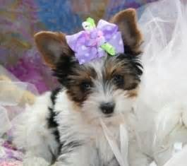 yorkie puppies for sale in alexandria la dogs alexandria la free classified ads