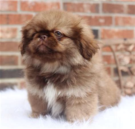 pekingese poodle lifespan 346 best images about doggies on chow