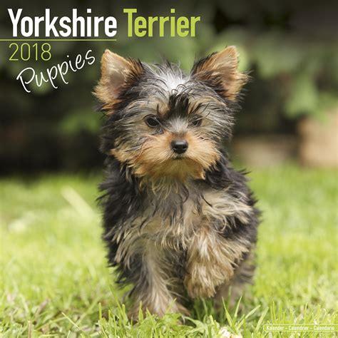yorkie puppy shoo terrier puppies calendar 2018 10209 18 breeds