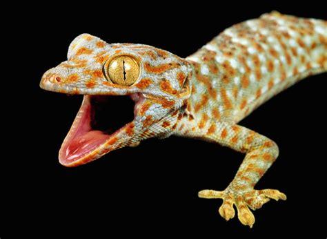 caring for pet tokay geckos