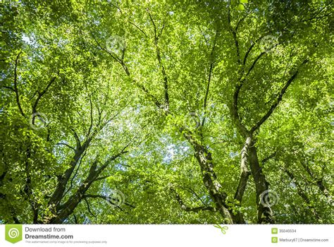 What Is A Tree Canopy Green Canopy Stock Images Image 35040534