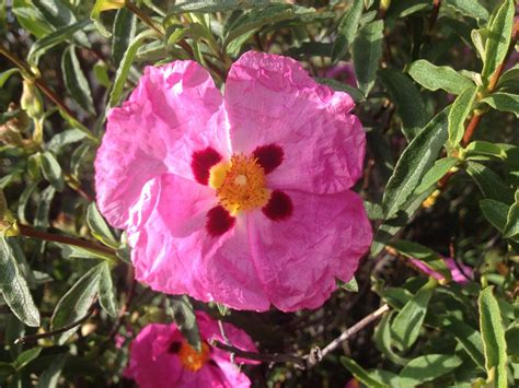 What Is The Name Of This Tender Pink Flower Snaplant Com Identify Garden Flowers