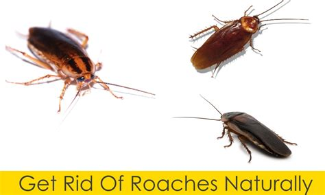 diy guide to get rid of roaches without poisoning yourself