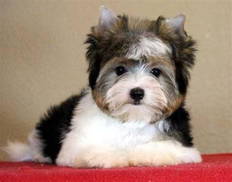biewer parti yorkie 17 best ideas about terrier puppies on terrier
