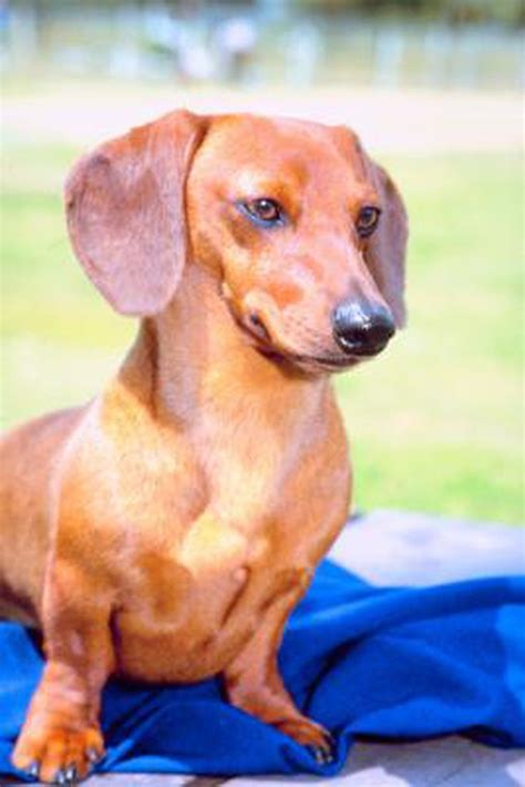 dachshund puppies price what is the normal price for a dapple dachshund puppy cuteness